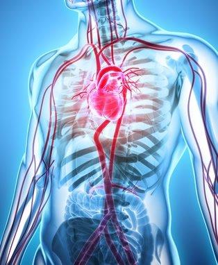 Angiologie - Die Lehre des des menschlichen Gefäßsystems